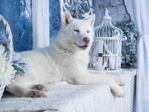 Хаски - альбинос. Умный, красивый для разведения, для фотосесси