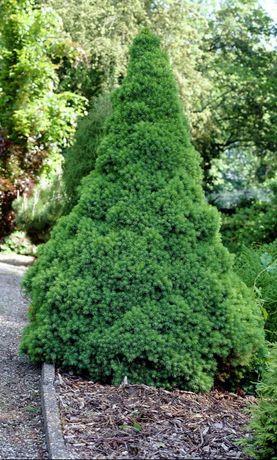 Picea punges conica