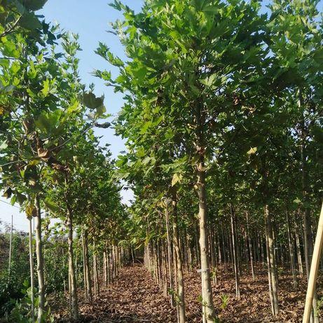 Platani,  copaci ornamentali, tei, mesteacăn, salcie pletoasa