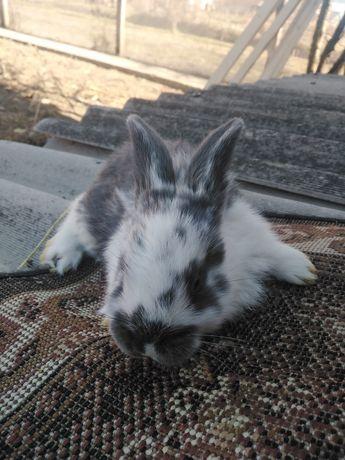 Vând iepuri rasa pura BERBEC GERMAN