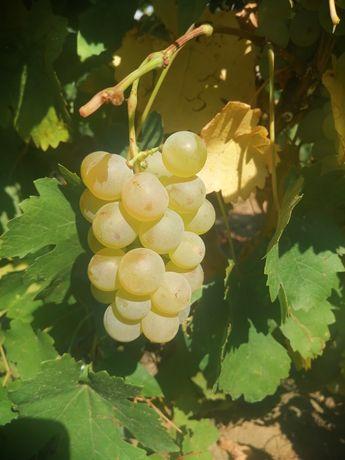 Vând struguri pentru vin