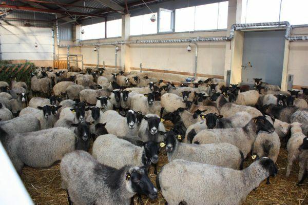 Бычки телята тёлки бараны коровы