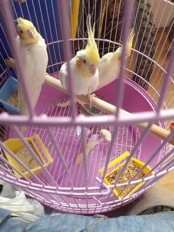 Papagali nimfe. Două perechi. Dau și separat.