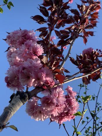 Cires japonez cu frunza rosie Royal Burgundy 3 metri