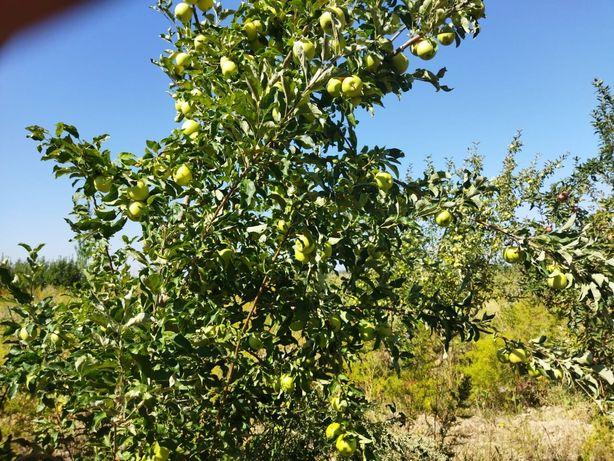 Яблоки с сада!!!
