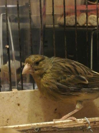 миналогодишни женски канарчета