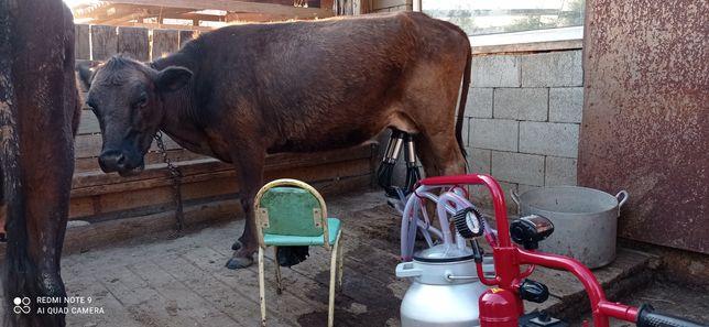 Дойная корова по