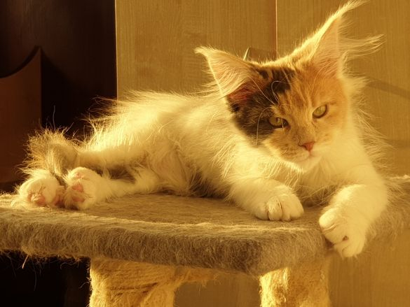 Мейн куун котка Maine coon cat