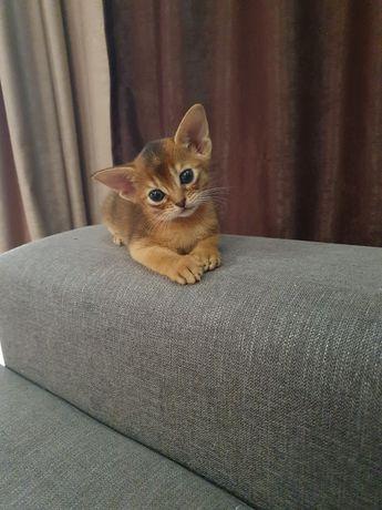 Абиссинские котята!