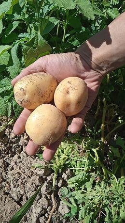 Картофель сорт гала. Оптом и в розницу. Доставка есть по городу Алматы
