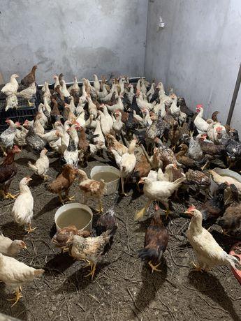 Цыплята, куры
