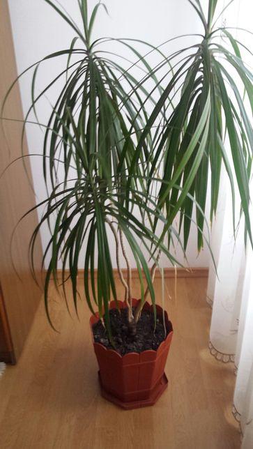 Vând palmier