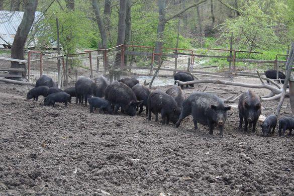 Продавам прасета източнобалканска порода всякакви килограми.