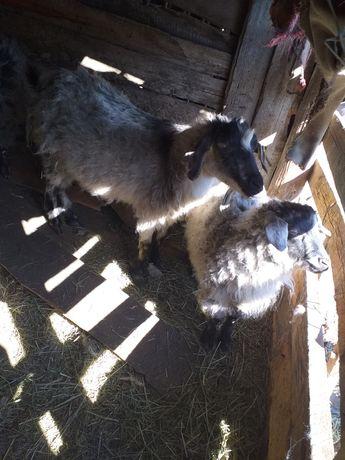 Продам коз с козлятами.