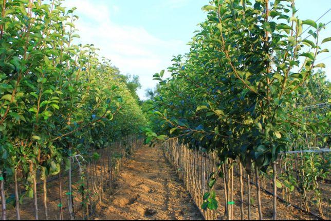 Pepiniera Cristea produce pomi fructiferi și tuia Chiparos Leyland