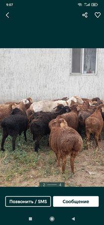 Кой сатылады кисарски порода продается бараны жирные 35000мыннан