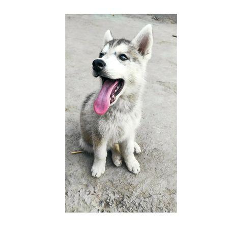 Сибирский хаски щенок