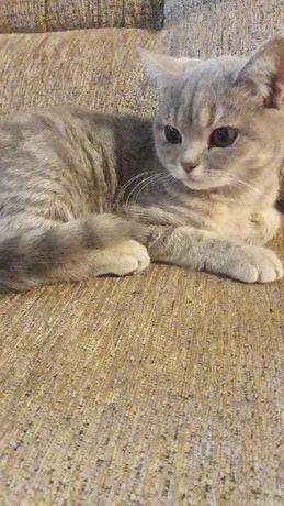 Британский котенок девочка