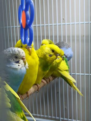 Волнистые попугаи В НАЛИЧИИ
