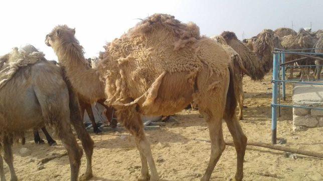 Продаем верблюдов