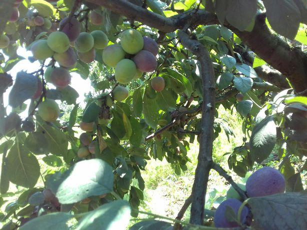 Vând prune timpuri