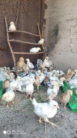Цыплята несушки от домашних кур