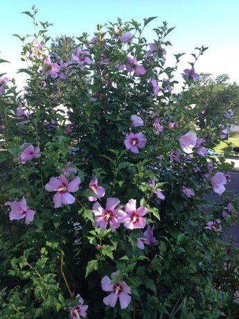 Hibiscus gard viu