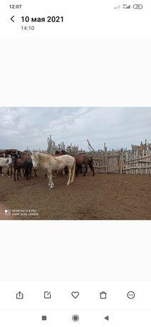 Бір үйір жылқы малы сатылады. Тұрақты қонысы Шабдаржап, Аққала ауылы.