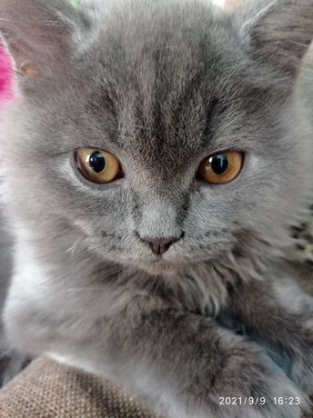 Котик пушистый длинношёрстный британец. Отдам бесплатно в добрые ручки