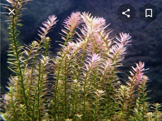Аквариумное растение ротала