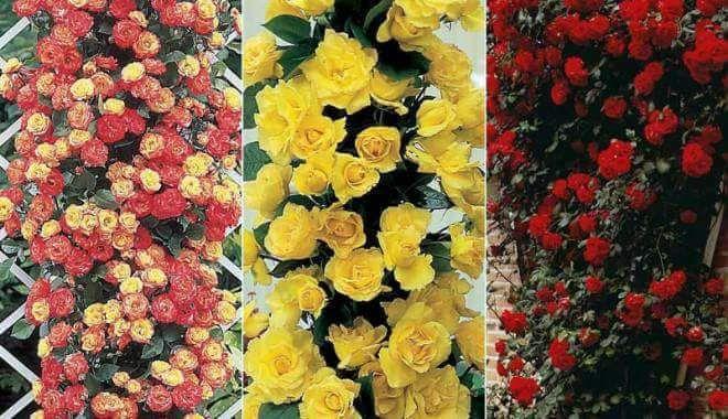 Trandafiri 2020 Baneasa - imagine 1