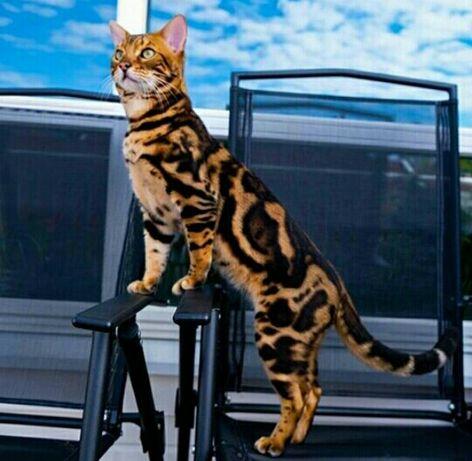 Бенгальский котик готов к вязки звоните  в любое время
