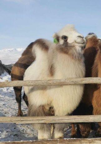 Верблюды разных мастей (Доставка по Казахстану)