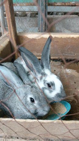 Продам 2 кролика