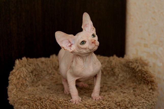 Котята сфинксы с шоу перспективой!!!