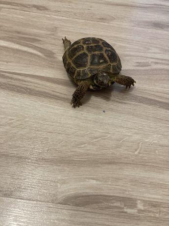 Черепаха азиатская