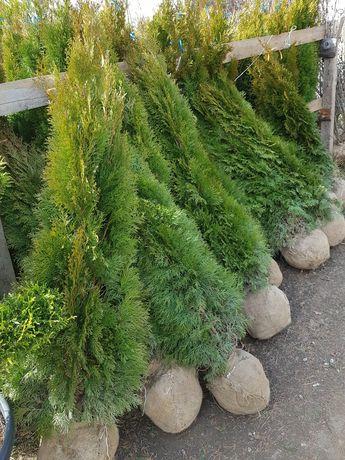 Vand o gama foarte mare de plante ornamentale pretul difera in funcție