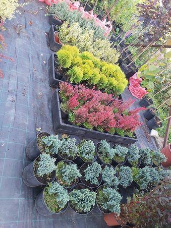 Vand conifere si plante ornamentale la ghiveci