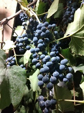Продам виноград сорт изобелла для вина и для кампота
