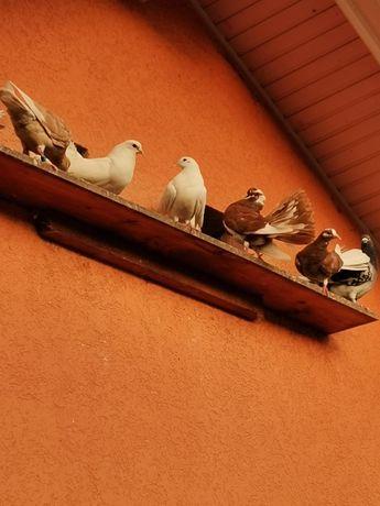 Porumbei rotati și voiajor