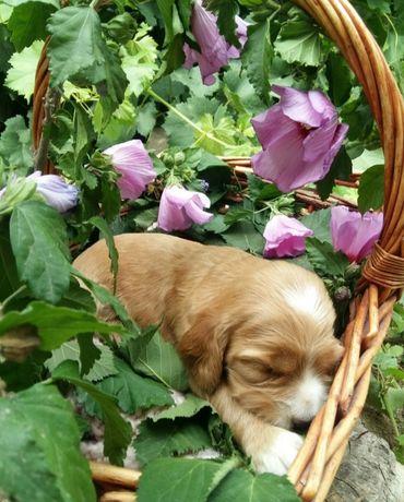 Красивые щенки спаниеля