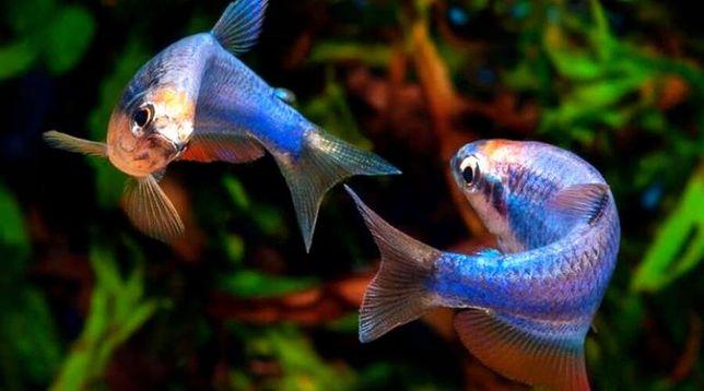 Керри рыбки