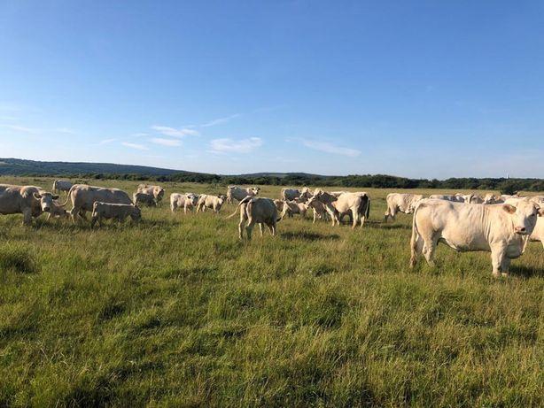Gunoi de vaci de 2 ani Bio cu certificat EcoCert