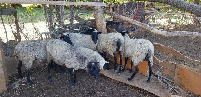 Продам стадо романовских овец