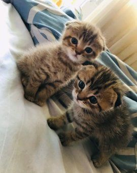 Шотлашки котятки