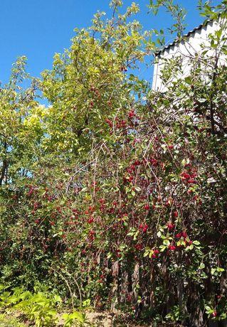 Домашние клубника малина вишня облепиха крыжовник ежевика ягоды жидек