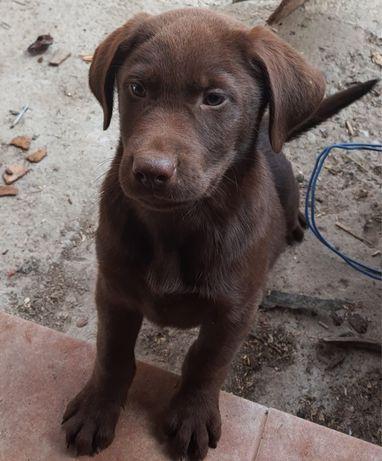 Labradori ciocolatii