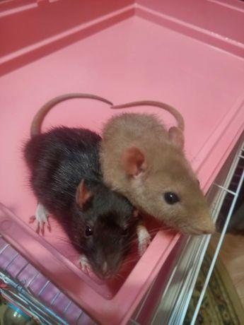Продам двух крысят и большую клетку вместе