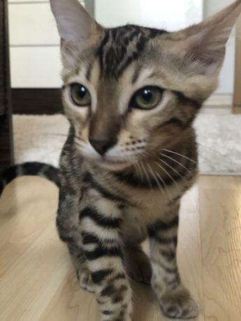 Продам котёнка (бенгал)
