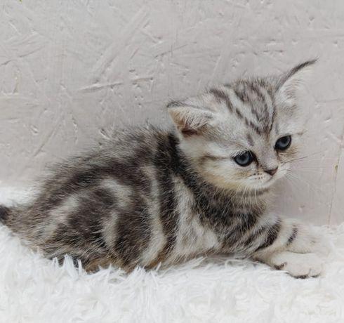 /шотландский прямоухий котик